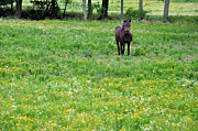 Country Scenes Prints - Miniature Stallion Print by Jan Amiss Photography