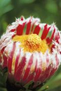 Nature Center Prints - Mink Protea Print by Allan Seiden - Printscapes