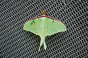 Netting Posters - Mint Green Luna Moth Poster by Andee Photography