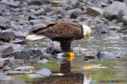 Bald Eagle Prints - Mirror Mirror Print by Mike  Dawson