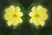 Mirrored Missoruri Primrose Print by Linda Phelps