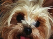 Yorkie Metal Prints - Mischief Metal Print by Patti Siehien