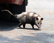 Possum Photos - Missed Me by Al Powell Photography USA