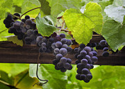 Grape Digital Art Metal Prints - Mission Grapes Metal Print by Sharon Foster