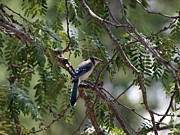 Joshua House - Mississippi Blue Jay
