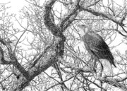 Eagle Drawing Drawings Originals - Mississippi River Sentinel - Bald Eagle by Craig Carlson