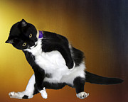 Tuxedo Cat Digital Art - Missy at play by Barney Martin