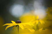 Coneflowers Photos - Misty Morn by Jacky Parker