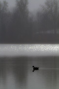 Grey Goose Prints - Misty Morning Print by Bill Lindsay