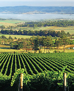 Yarra Valley Prints - Misty Morning In Yarra Valley Vineyards Near Healesville, Victoria, Australia Print by Peter Walton Photography