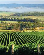 Misty Morning In Yarra Valley Vineyards Near Healesville, Victoria, Australia Print by Peter Walton Photography
