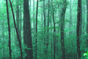 Verdant Prints - Misty Summer Woods Print by Thomas R Fletcher