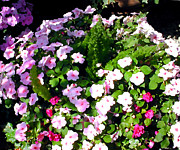 Perennials Painting Posters - Mixed Impatiens in Dappled Shade Poster by Elaine Plesser