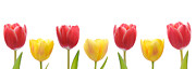 Easter Flowers Prints - Mixed Tulips Row Print by Christopher and Amanda Elwell