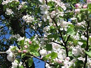 Barbara Yearty - MN Apple Blossoms 2