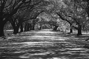 Live Oaks Originals - Mobley Oaks by Jean Macaluso