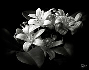 Flower Photos Posters - Mock Orange in Black and White Poster by Endre Balogh