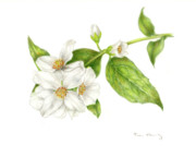 Floral Drawings Originals - Mock Orange Philadelphus coronarius by Fran Henig