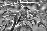 Mocking Framed Prints - Mocking Bird in Black and White Framed Print by Ester  Rogers