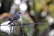 Mocking Framed Prints - Mocking Bird On a Wire Fence Framed Print by Roy Williams