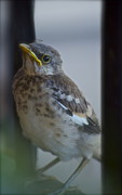 Baby Bird Photos - Mockingbird Chick by Gwyn Newcombe