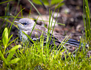 Mockingbird Photo Posters - Mockingbird Fledgling Catching Bugs Poster by Bob Orsillo