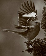 Mockingbird Framed Prints - Mockingbird In A Pine Framed Print by Christopher Kirby
