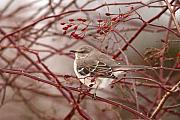 Mockingbird Photo Posters - Mockingbird In Winter Rose Bush Poster by Max Allen