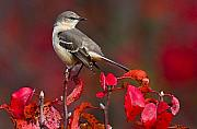 Song Bird Photos - Mockingbird on Red by William Jobes