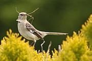 Mockingbird Framed Prints - Mockingbird Perched With Nesting Material Framed Print by Max Allen