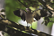 Mockingbird Framed Prints - Mockingbird  Framed Print by Terry DeLuco
