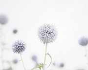 Soft Purple Posters - Modern Allium Poster by Lisa Russo