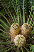 Featured Art - Modjadji Cycad South Africa by Piotr Naskrecki