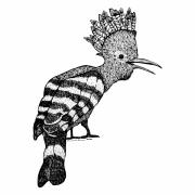 Zoo Drawings Prints - Mohawk Bird Print by Karl Addison