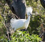 Snowy Egret Originals - Mohawk by Kenneth Albin