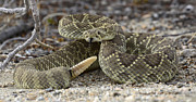 Rattlesnake Photos - Mojave Rattlesnake  by Bob Christopher