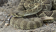 Coiled Prints - Mojave Rattlesnake Close Up And Personal Print by Bob Christopher
