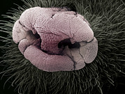 Sensitivity Posters - Mole Nose, Sem Poster by Steve Gschmeissner