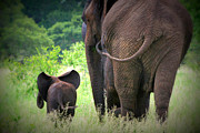 Little Elephant Framed Prints - Mom and Baby Framed Print by Deborah Hall Barry