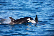 Mom And Baby Killer Whale Print by Ivan SABO
