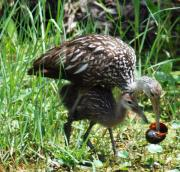 Christine Savino - Mom And Baby Limpkin