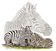 Striped Drawings - Mom and Baby Zebra Art by Kelli Swan
