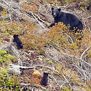 Black Bear Cubs Photos - Mom and Cubs by Claude Dalley