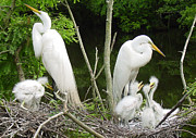 Great White Egret Prints - Mom n Pop n Chicks Print by Suzanne Gaff