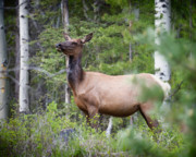 Ken Cornett - Momma Elk is Watching