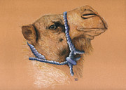 Camel Drawings - Mona The Rescue Camel by Ann Hamilton