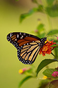  Large Format Prints - Monarch 2 Print by Joseph Placheril