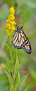 Arthropod Photos - Monarch and Goldenrod  by Michael Peychich