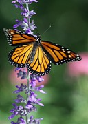 Gossamer Framed Prints - Monarch Beauty Framed Print by Sabrina L Ryan
