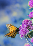 Milkweed Butterfly Posters - Monarch Blues on Chives Poster by Bill Tiepelman